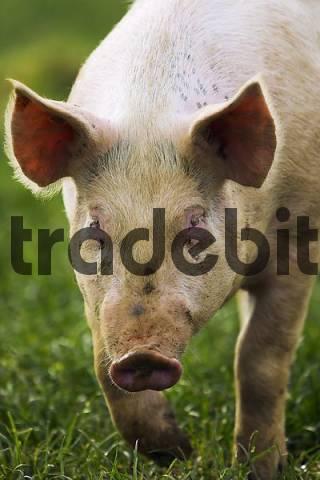 Domestic Pigs, Switzerland