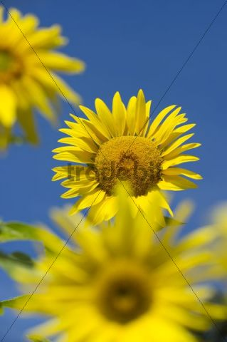 Sunflowers (Helianthus annuus) against a blue sky