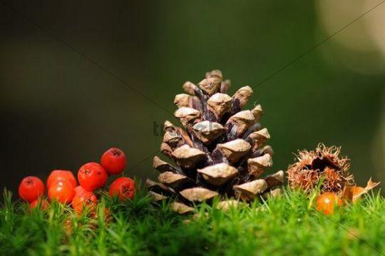 Autumn still life with Pine (Pinus) cones