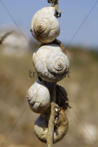 Mediterranean Snails (Helix lucorum) in heat rigor on a reed, Zadar, Dalmatia, Croatia, Europe