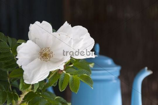 Japanese Rose or Ramanas Rose (Rosa rugosa), white flower in front of a blue pot, still life
