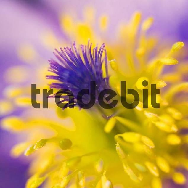 common pasque flower Pulsatilla vulgaris