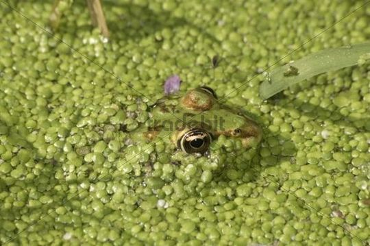 Water Frog (Rana sp.) in water covered with duckweed, Leptokaria, Greece, Europe