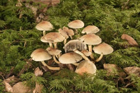 Smokey Gilled Woodlover mushroom (Hypholoma capnoides), Untergroeningen, Baden-Wuerttemberg, Germany, Europe