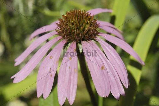 Flowering Purple Coneflower (Echinacea purpurea), medicinal plant to stimulate the immune system