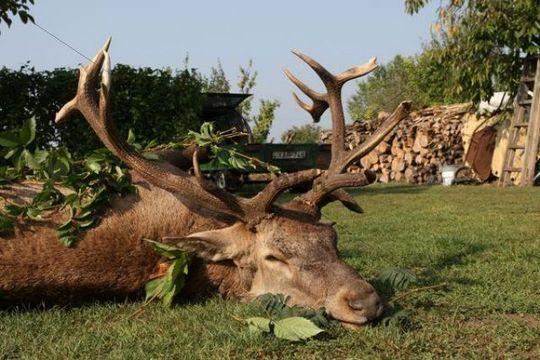 Hunted deer (Cervus elaphus), Hungary, Europe