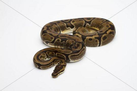 Matanic Ball Python or Royal Python (Python regius), female