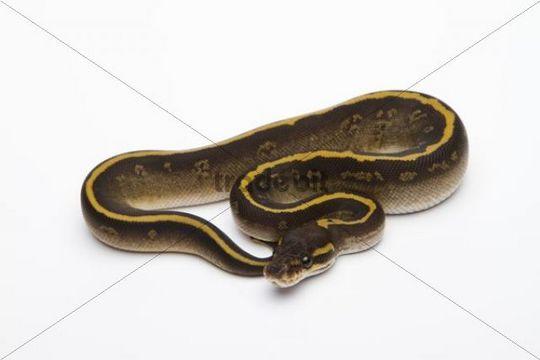 Mojave Granite Ball Python or Royal Python (Python regius), female