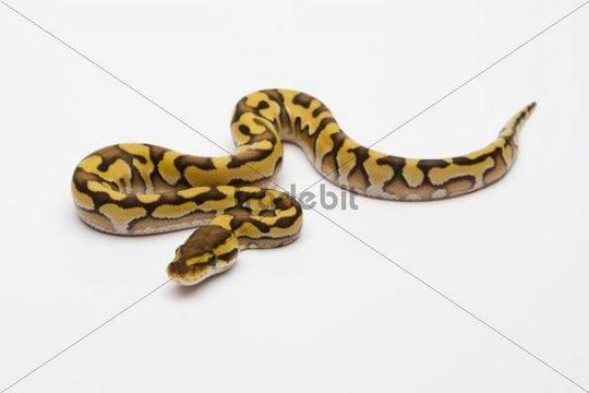 Tiger Phantom Yellow Belly Ball Python or Royal Python (Python regius), male