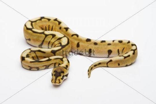 Desert Spider Ball Python or Royal Python (Python regius), male