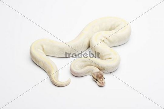 Opal Diamond Ball Python or Royal Python (Python regius), male