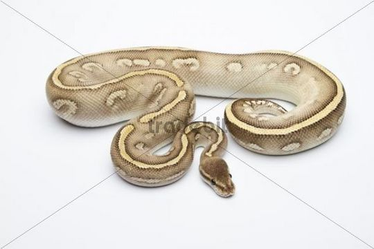 Super Phantom Ball Python or Royal Python (Python regius), male