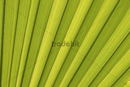 Chusan Palm, Windmill Palm or Chinese Windmill Palm (Trachycarpus fortunei), palm frond