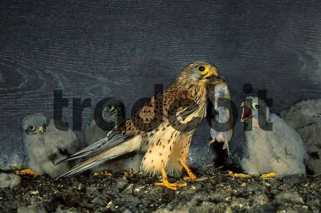 kestrel Falco tinnunculus family falcons diurnal birds of prey Falconiformes adult with mouse