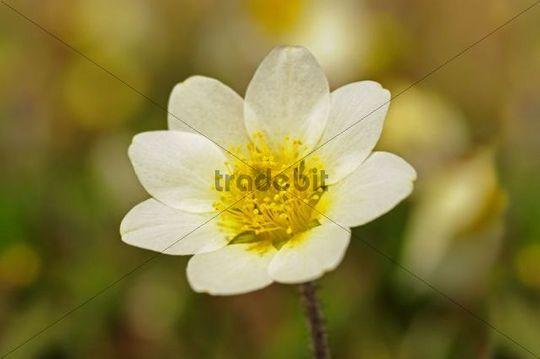 White mountain avens or white dryas dryas octopetala national fl white mountain avens or white dryas dryas octopetala national flower of iceland and mightylinksfo