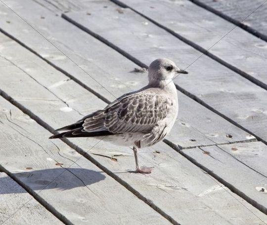 American Herring Gull or Smithsonian Gull (Larus smithsonianus, Larus argentatus), juvenile, Atlin Lake, British Columbia, BC, Canada