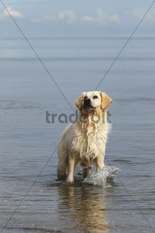 Golden Retriever (Canis lupus familiaris), two-year-old bitch standing in the water