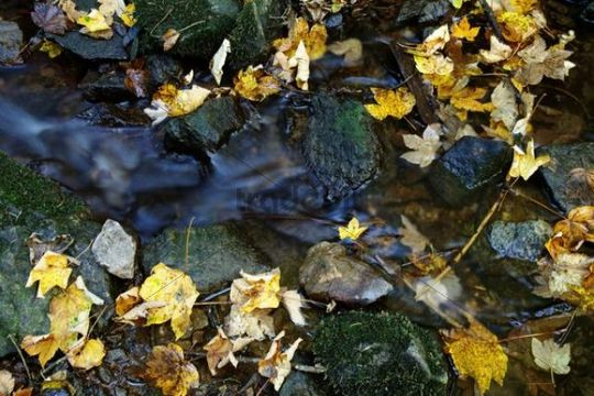 Maple leaves (Aceraceae) in a creek in Wutachschlucht ravine in the Black Forest, Baden-Wuerttemberg, Germany, Europe