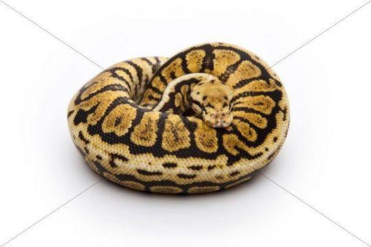 Powerball Ball Python or Royal Python (Python regius), male