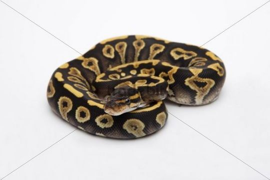 Phantom Yellow Belly Ball Python or Royal Python (Python regius), female