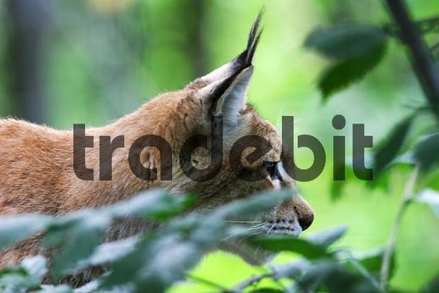 European lynx peers Lynx lynx, captive