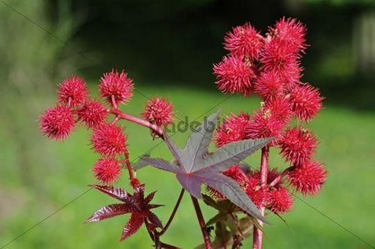Castor oil plant (Ricinus communis), fruits, Europe