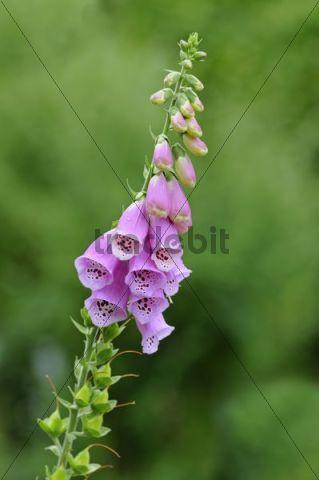 Purple Foxglove (Digitalis purpurea), Europe