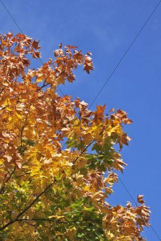 Norway Maple (Acer platanoides), autumn, autumnal, leaves