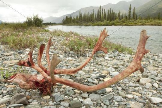 Kill site, bloody scull and antlers of a male, bull caribou, reindeer (Rangifer tarandus), killed and eaten by wolves, shore of Wind River, Peel Watershed, Yukon Territory, Canada