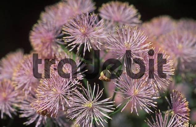 Columbine-leaved meadow rue Thalictrum aquilegifolium Germany