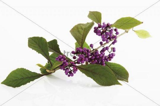 Beautyberry (Callicarpa giraldii)