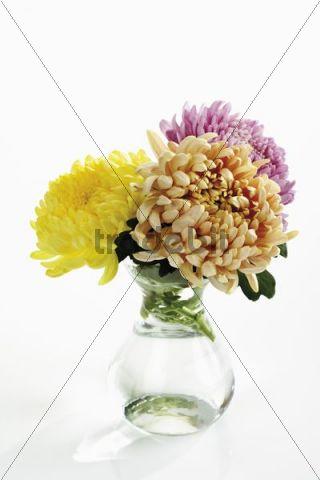 Different-colored chrysanthemums (Chrysanthemum indicum) in flower vase