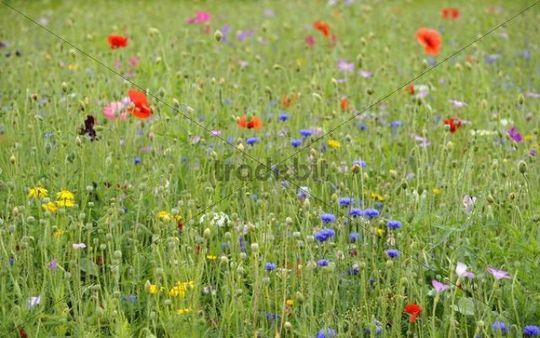Summer meadow, Cornflower (Centaurea cyanus), Yarrow (Achillea), Mallow (Malva), Yellow Daisies (Leucanthemum), Poppy (Papaver rhoeas)