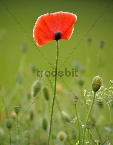 Summer meadow, Poppy (Papaver rhoeas)