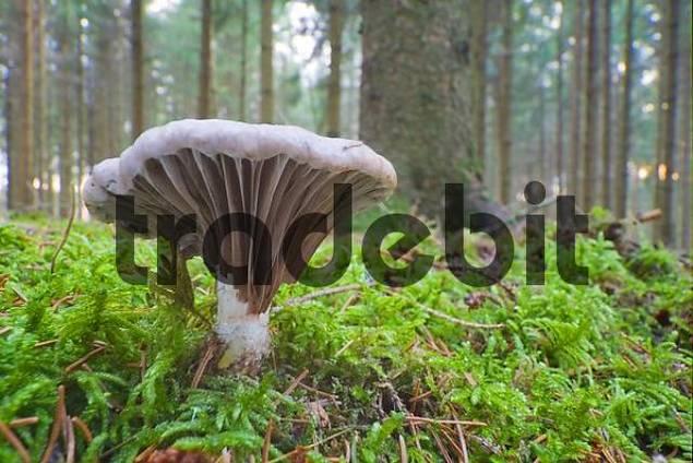 Slimy Spike Cap Gomphidius glutinosus