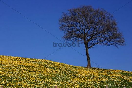 Meadow with dandelions and a tree