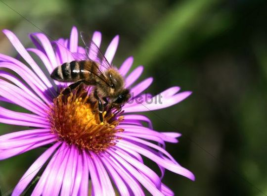 Honey Bee (Apis mellifera) on an Alpine aster (Aster alpinus)