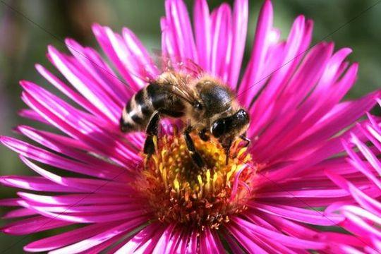 Honey Bee (Apis mellifera) on an Alpine aster (Aster alpinus)