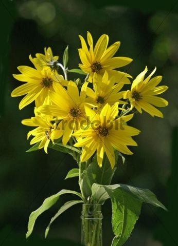 Jerusalem artichoke (Helianthus tuberosus), flowers