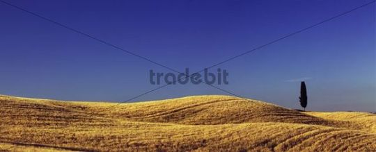 Solitary Cypress (Cupressus) in corn field near Terrapille, Pienza, Tuscany, Italy, Europe