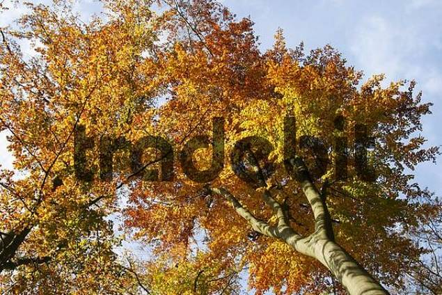 Treetops of autumnal colored beeches from below