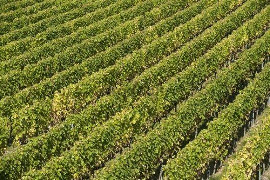 Vineyard, near Ruedesheim, Rheingau, Hesse, Germany, Europe