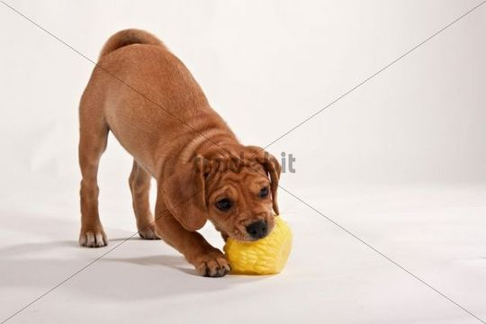 Puggle puppy playing with a ball