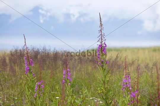 Fireweed or Great Willow-herb (Chamerion angustifolium), national flower of Alaska, USA, North America