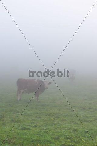 Cows on the pasture in mist, near lake Staffelsee, Seehausen, Murnau, Upper Bavaria, Bavaria, Germany, Europe, PublicGround