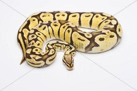 Royal Python (Python regius), Vanilla Super Pastel, female, Willi Obermayer reptile breeding, Austria