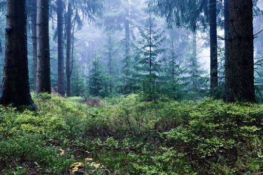 Coniferous forest near Masserberg, Thuringian Slate Mountains, Thuringia, Germany, Europe