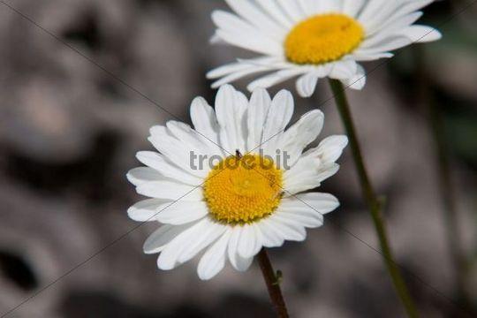 Daisies (Leucanthemum) on an alpine meadow, Appenzell Innerrhoden or Inner Rhodes, Switzerland, Europe