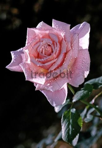Rose (Rosa), scented rose, variety Provence, with dew drops