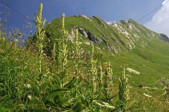 White Hellebore (Veratrum album), Vaud Alps, Switzerland, Europe